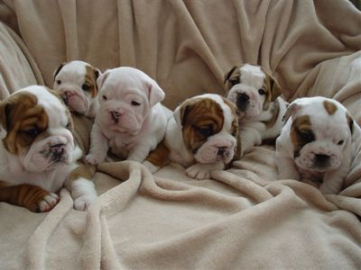 Bulldogpuppies Wallpaper on Did You Know  Puppies   Kitties Are Cute